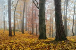 foggy forest by mescamesh