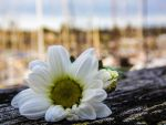 Daisy on the Promenade by Socpxd
