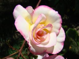 White and Pink Rose XII by EmmaL27