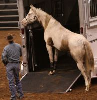Palomino Tovero Paint 3 by ponyexpressed-stock