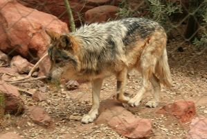 Mexican Grey Wolf by Hyena27