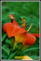 ... Fire Lily ... by JMckey