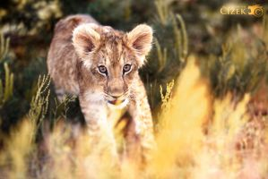 Golden Shenzi by Lion-Redmich