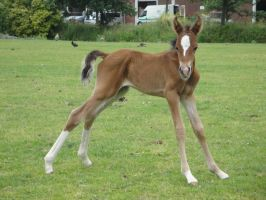 Standing Bay Foal by Horselover60-Stock