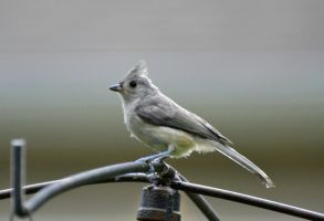 young tufted titmouse by FlowerFreak