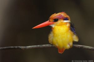 Black-backed Kingfisher 01 by garion