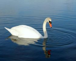 Swan 1_Stock by MJ84-StockPhotos