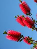 Bottle Brush Plant by Earthmagic