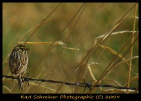 Bairds Sparrow by KSPhotographic