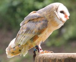 Barn Owl 10 by Chocomix-Stock