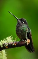 Magnificent Hummingbird by robbobert