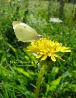 Cabbage Butterfly by yashakawaii