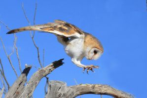 Barn Owl 9482 by Mammoth-Hunter