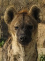 Spotted Hyena 18 by animalphotos
