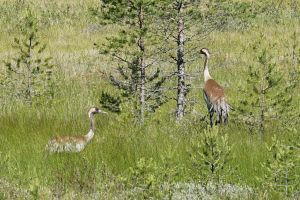 A pair of cranes by duncan-blues