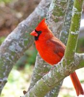 Cardinal Red by 2blueturtle
