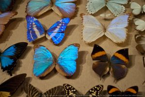 Butterflies : 01 by taeliac-stock