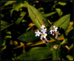 Forget-me-not by alone-maggie
