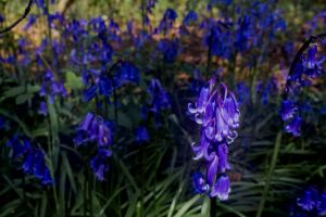 Bluebells in the cape of the wood by Eluded-By-Exclusion