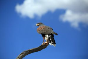Harris's Hawk 9565 by mammothhunter