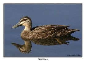 Wild Duck by misteriddles