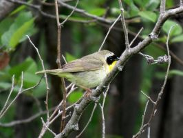 it's a Yellow throat by Nipntuck3