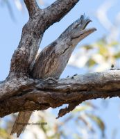 Tawny Frogmouth by Gehyra