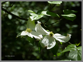 Dogwood deep in the forest by Mogrianne