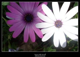 Purple and White Daisies II by alilone