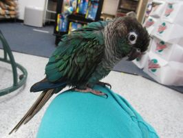 Turquoise Green Cheek Conure by koshplappit