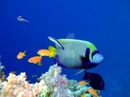 Tropical fish Angelfish by MotHaiBaPhoto