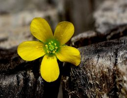 buttercup... by shotsfiredimagedown
