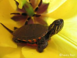 Turtle in a Tulip by SandieBlair