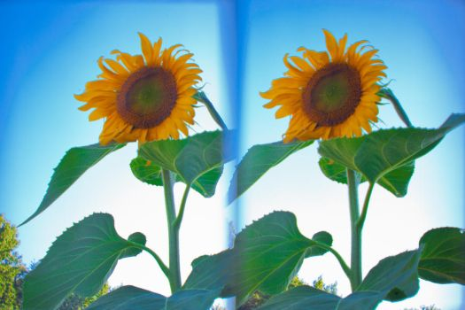 3D-4 Sunflower by DrDnar