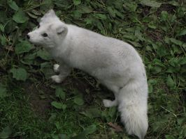 Arctic Fox 04 by animalphotos
