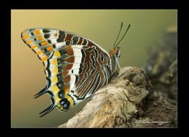 Charaxes jasius from Italy by pixelcop