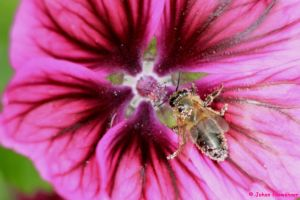Bee spotted by jochniew