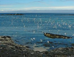Flock Of Terns by Hansmar