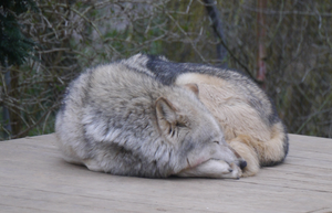 Sleeply Wolf by Party9999999