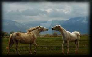 white horses fighting in field by houstonryan