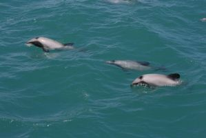 3 Dolphin by Mortitia212