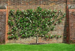 The pear trees of Henry VIII by ReaderByLamplight