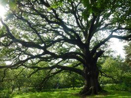 A Majestic Oak in Park. Bigger than it looks here. by SrTw