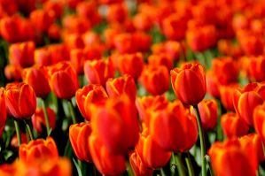 Red tulips II by dbroglin