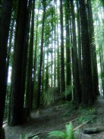 Redwoods by Karin80