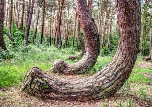 Crooked Forest by dominik-sekowski