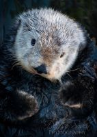 Coy Otter by DeniseSoden
