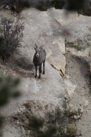 This Bighorn Sheep is Coming to Visit by OrioNebula