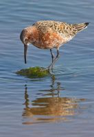 looks yummy- Curlew Sandpiper by Jamie-MacArthur