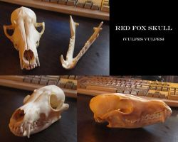 Red Fox Skull by Stalcry